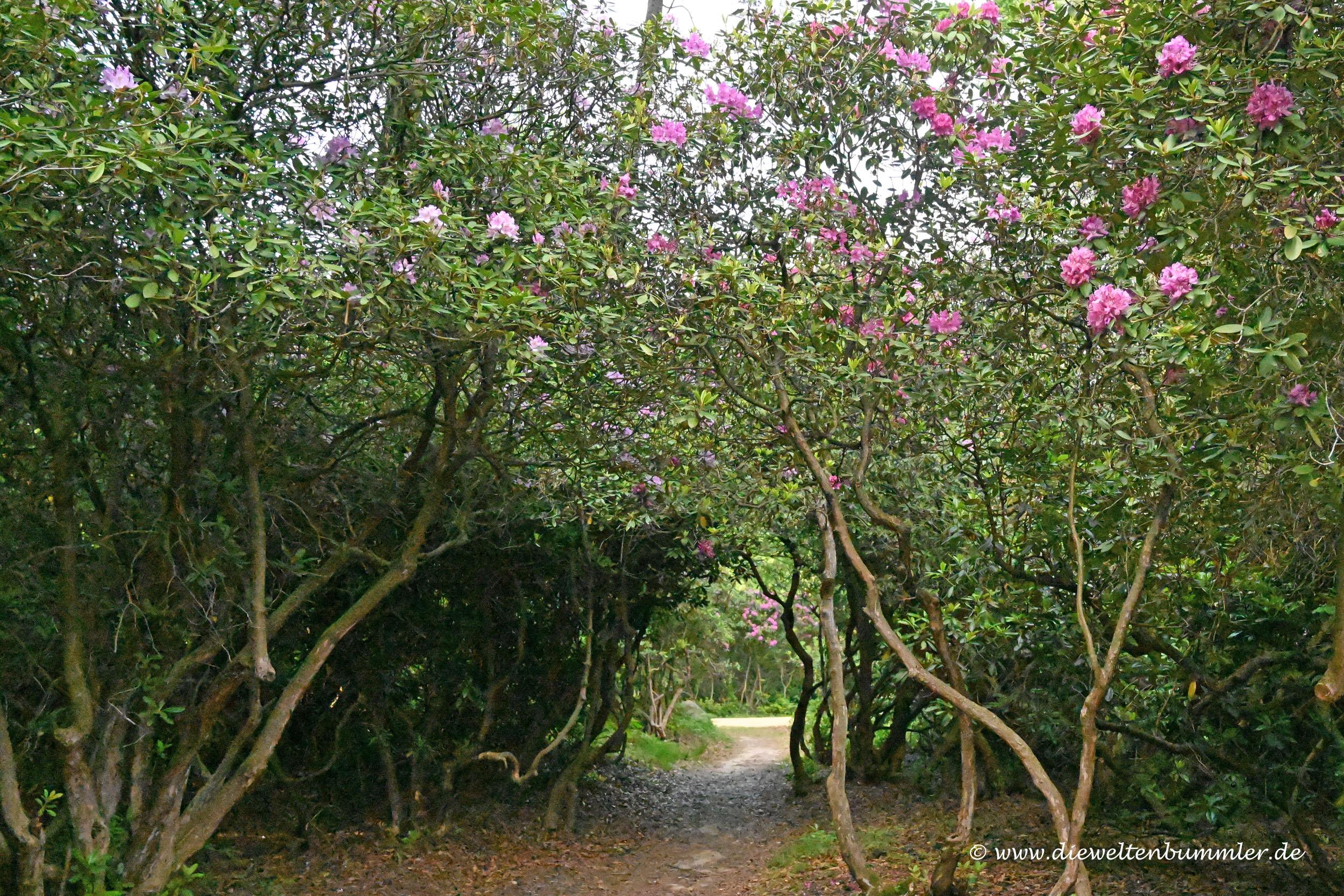 Tunnel unter Rhododendron