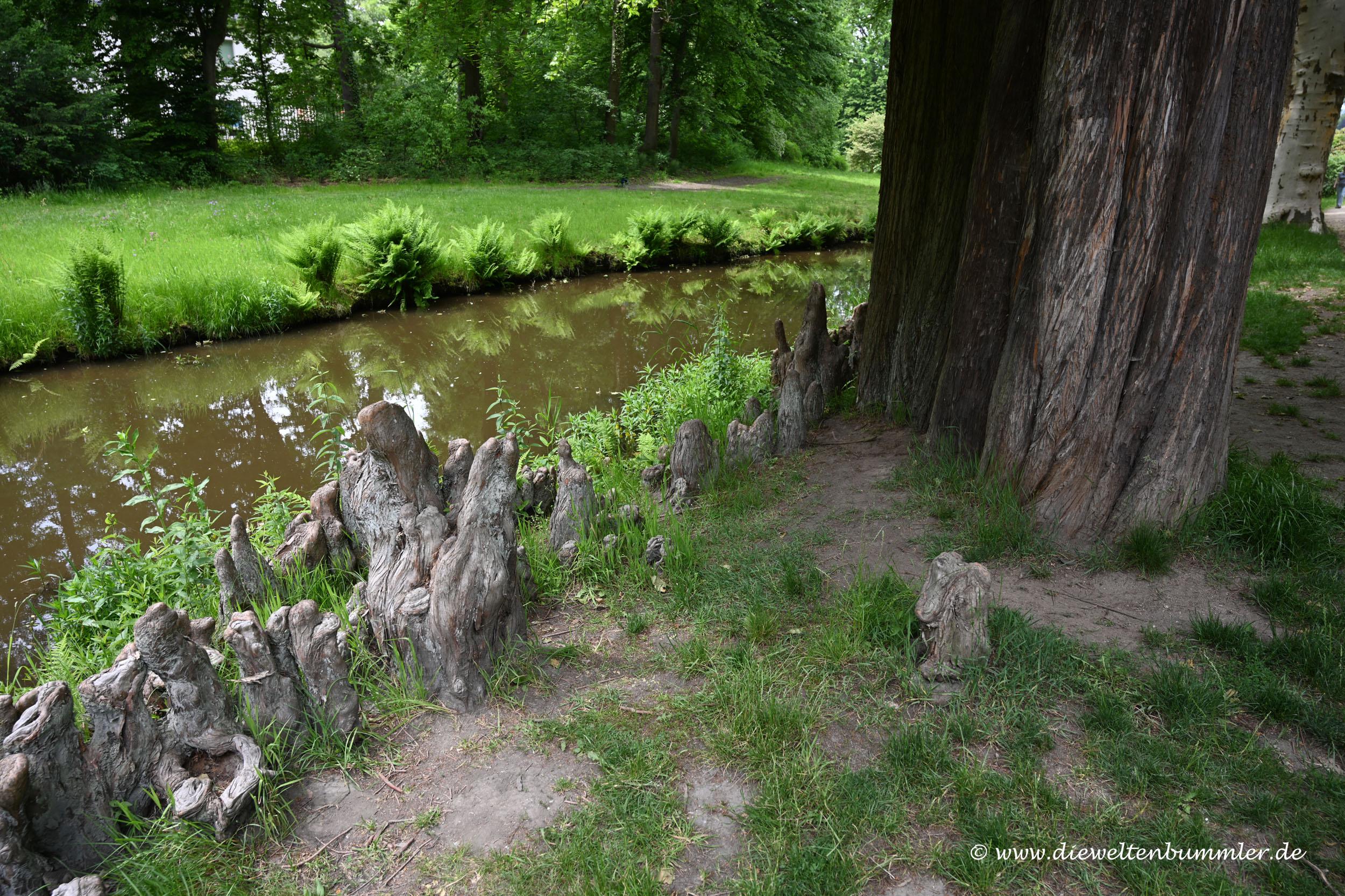 Wurzeln einer Sumpfzypresse