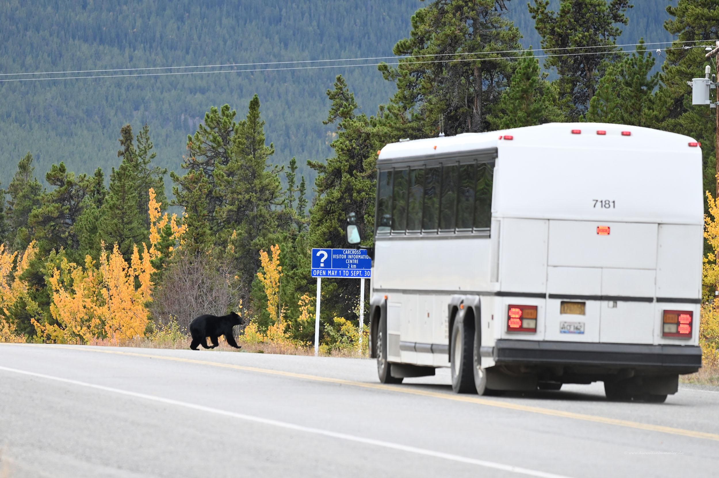 Beinahe-Unfall mit einem Schwarzbären