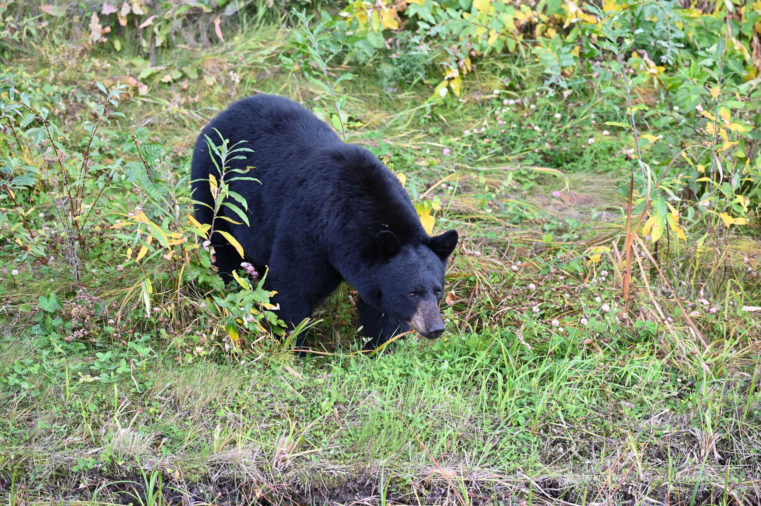 Schwarzbär am Alaska Highway