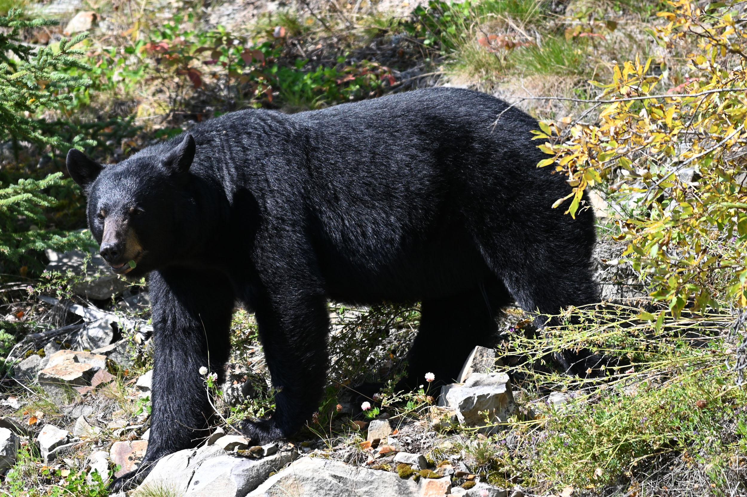 Schwarzbär direkt an der Straße