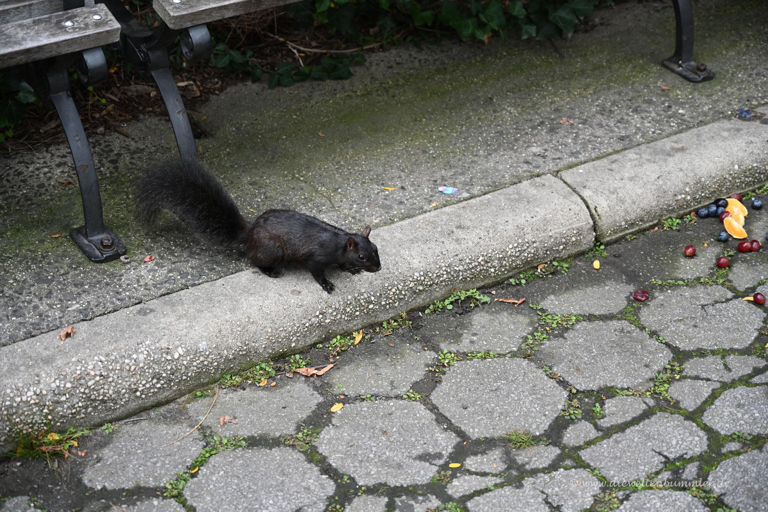 Schwarzes Squirrel