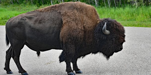 Bison im Nationalpark