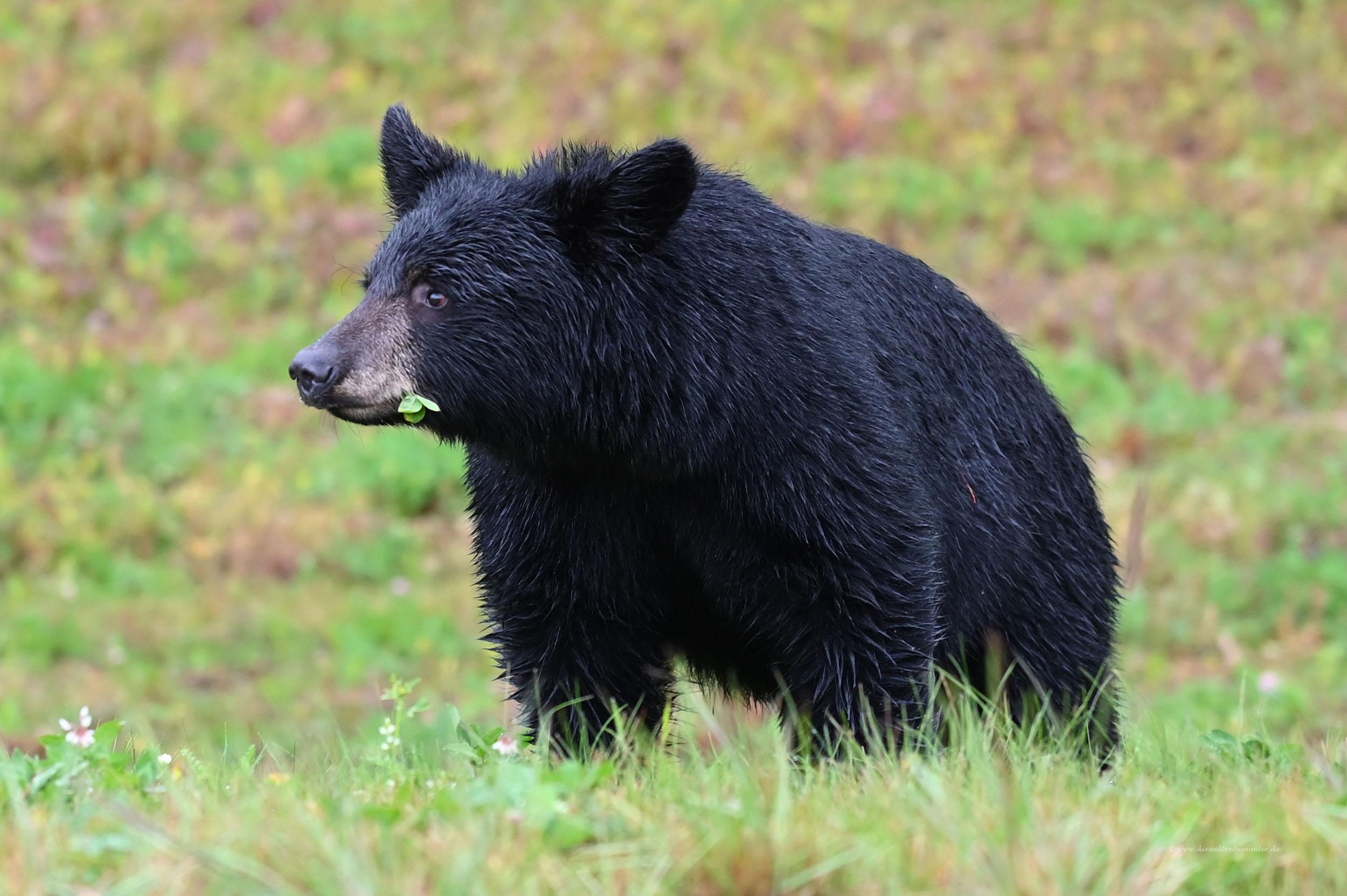 Mal wieder ein Schwarzbär