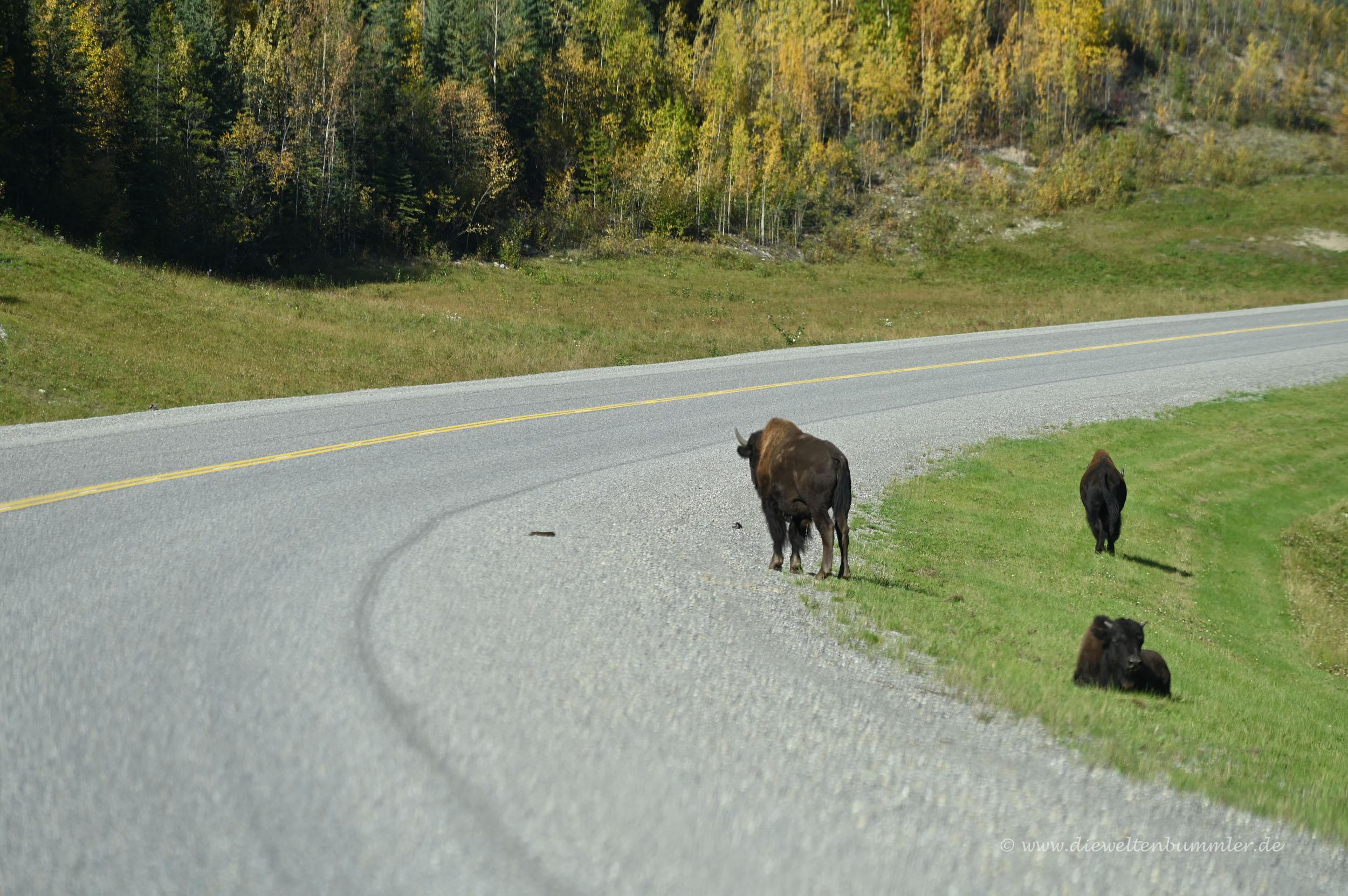 Bisons am Straßenrand