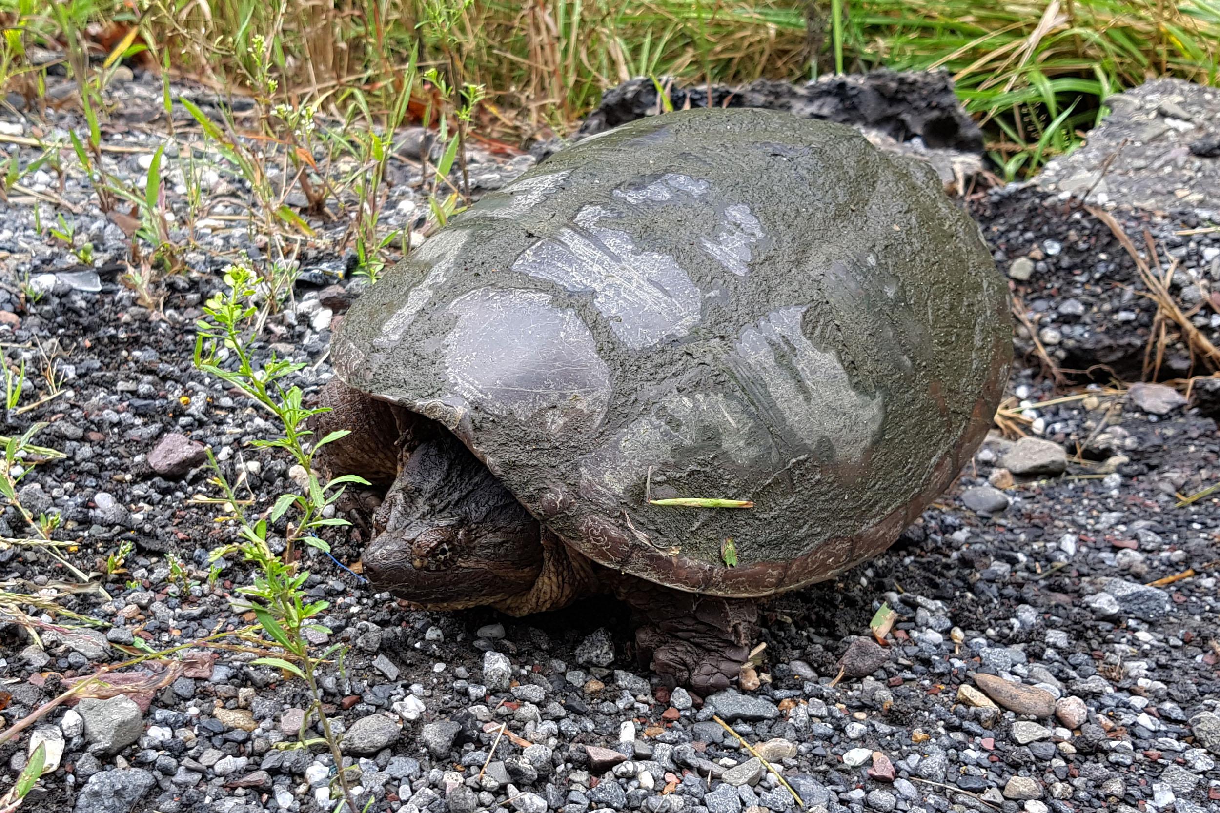 Schildkröte in den USA