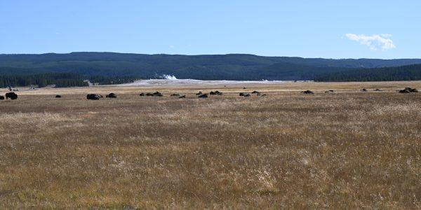 Bisons vor einem Geysir