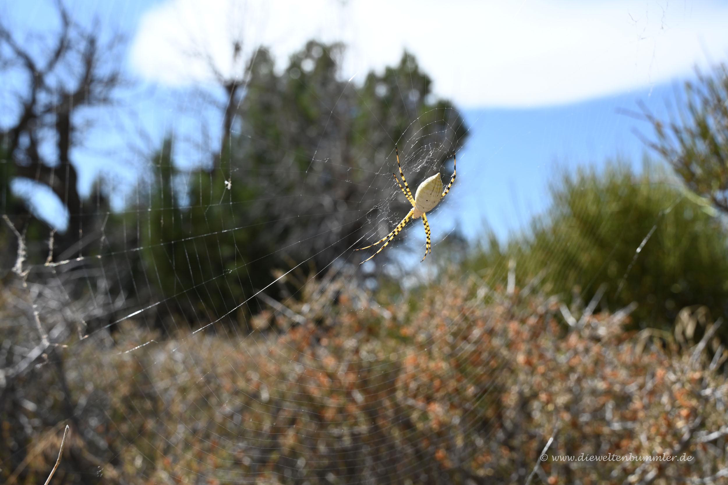 Große gelbe Spinne