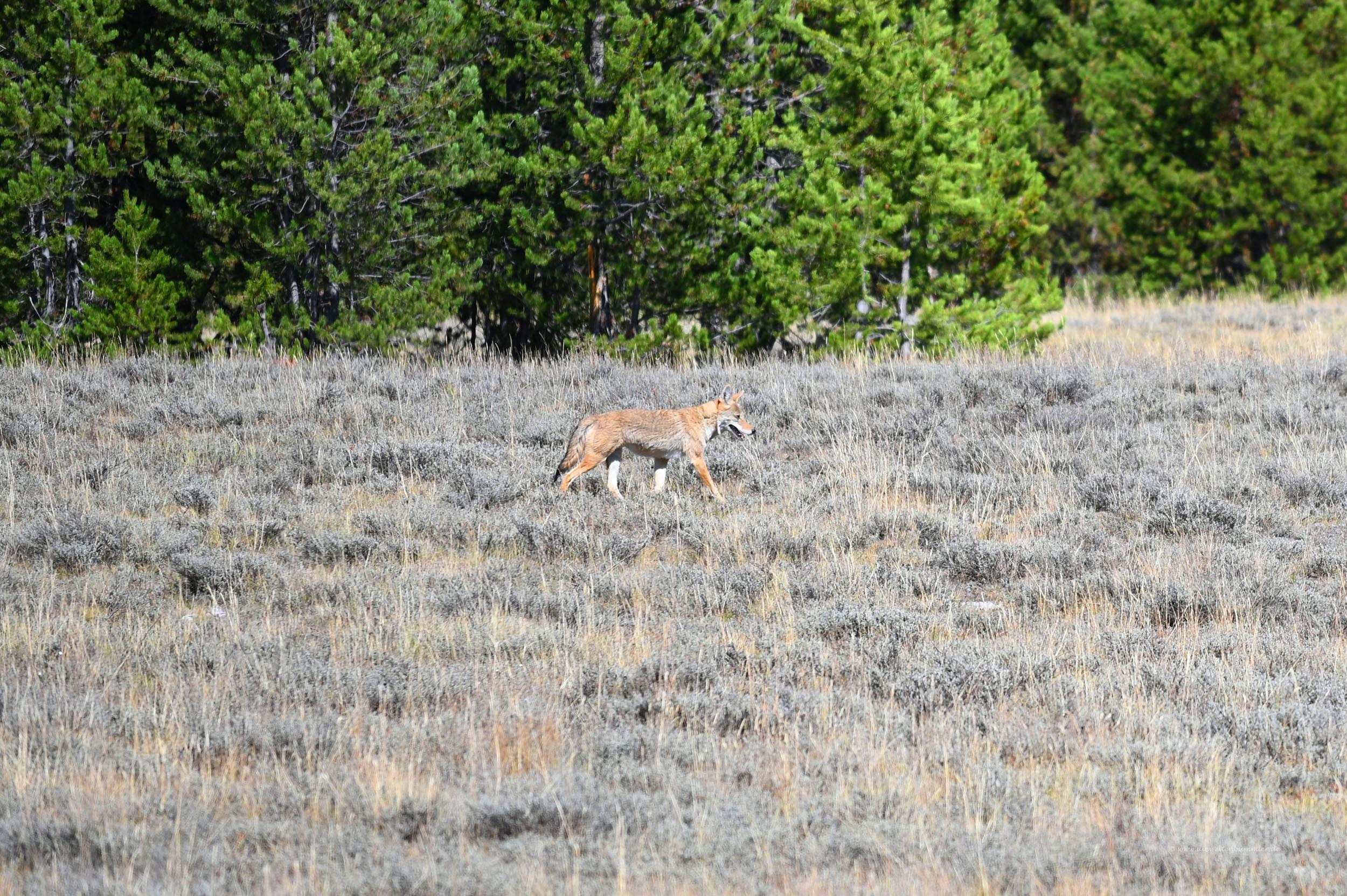 Koyote im Yellowstone Nationalpark