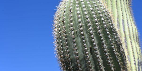 Riesiger Kaktus