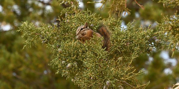 Chipmunk im Baum