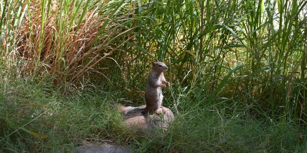 Squirrel im Grand Canyon