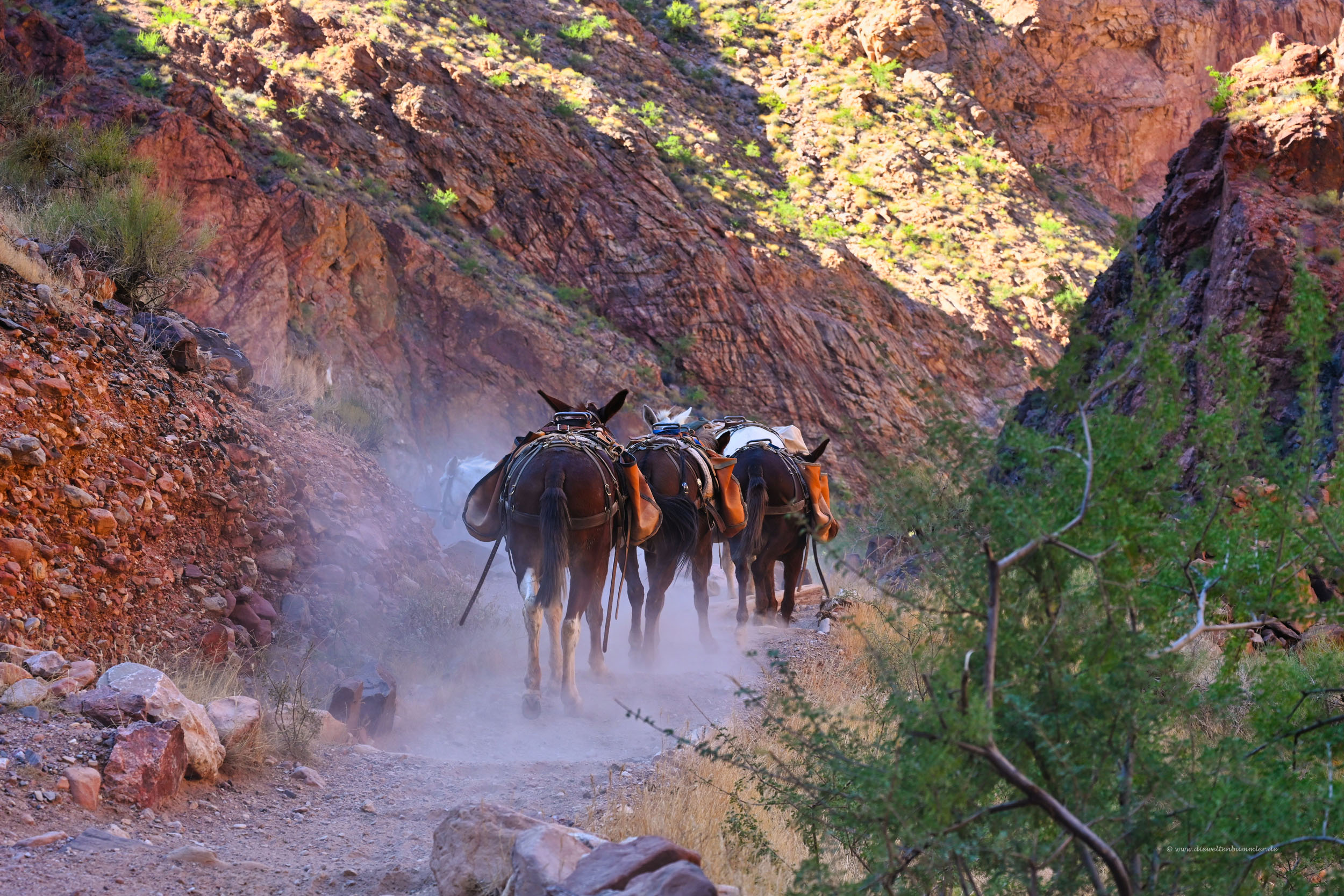 Mules im Grand Canyon