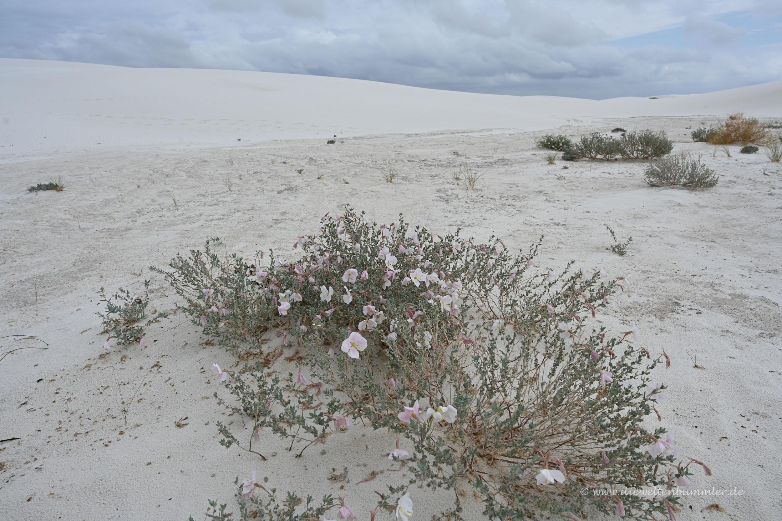 Blumen in der Wüste