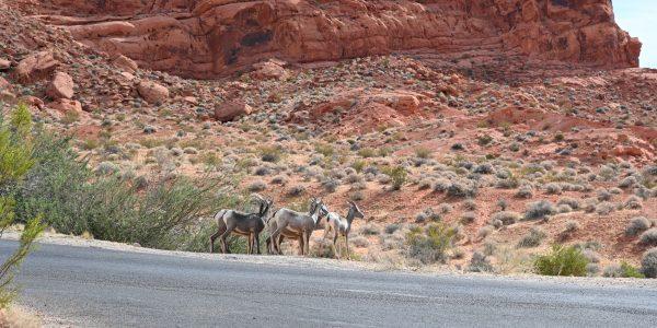 Desert Bighorn Sheeps
