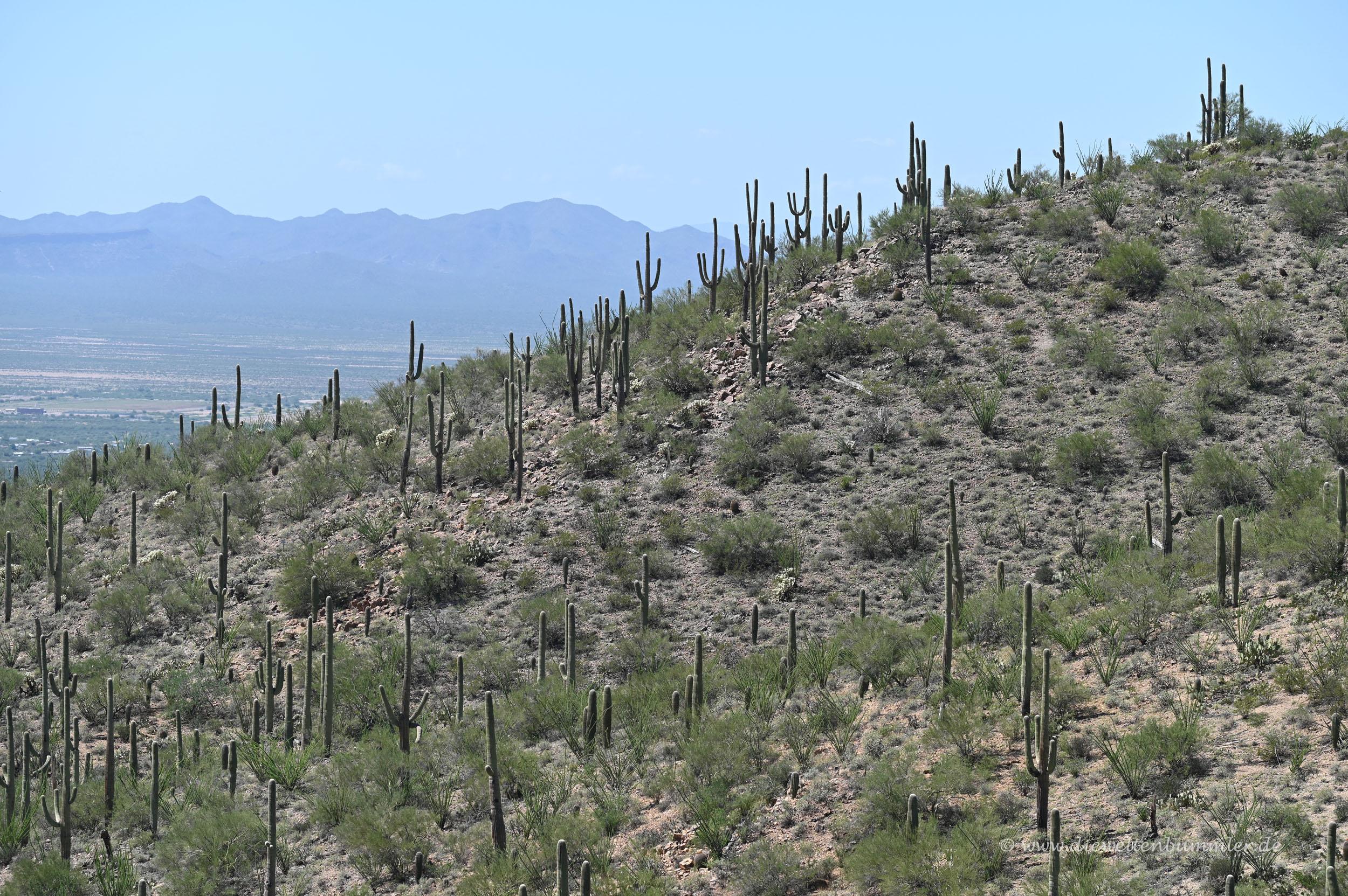 Saguaro Kakteen