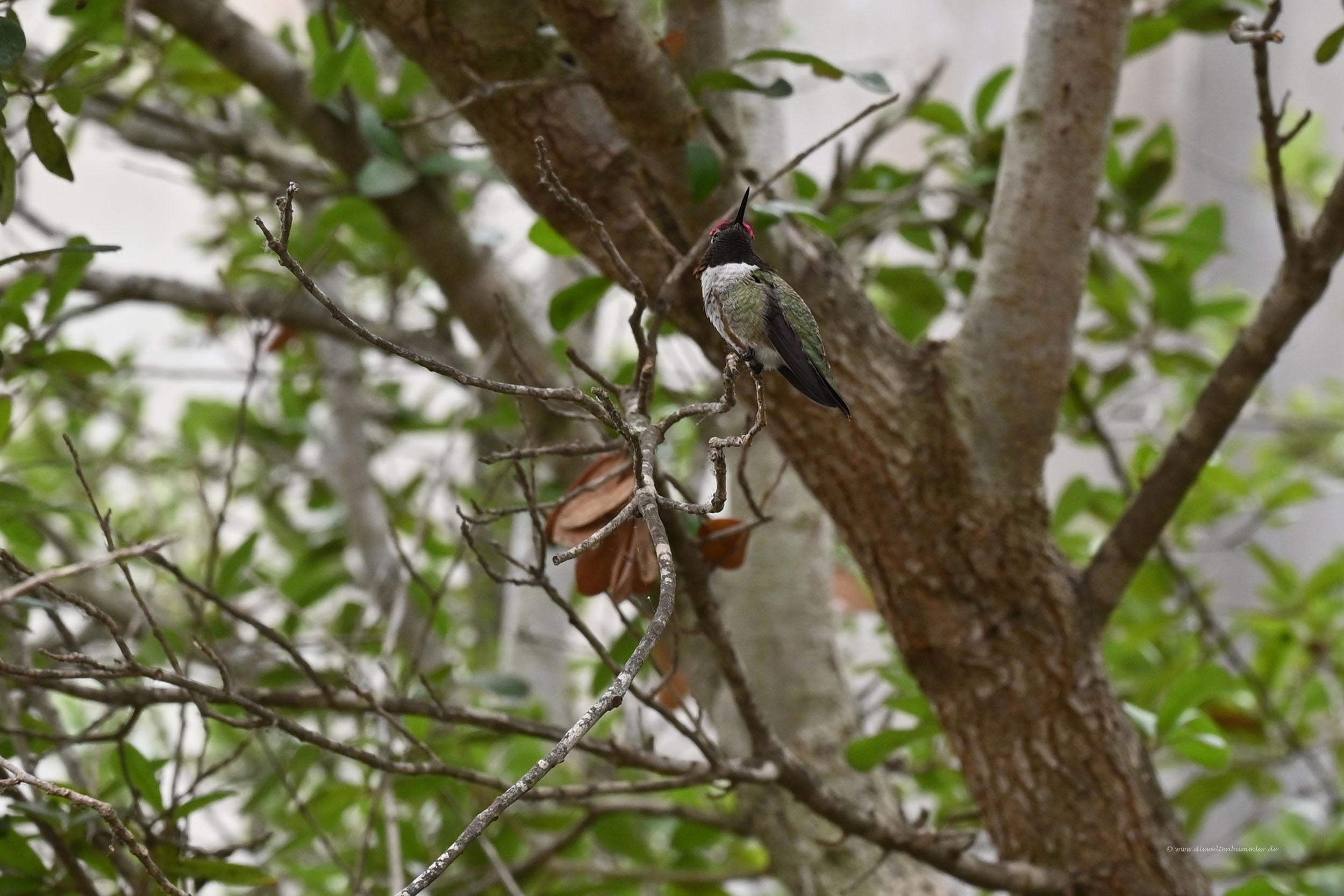 Kolibri im Disneyland