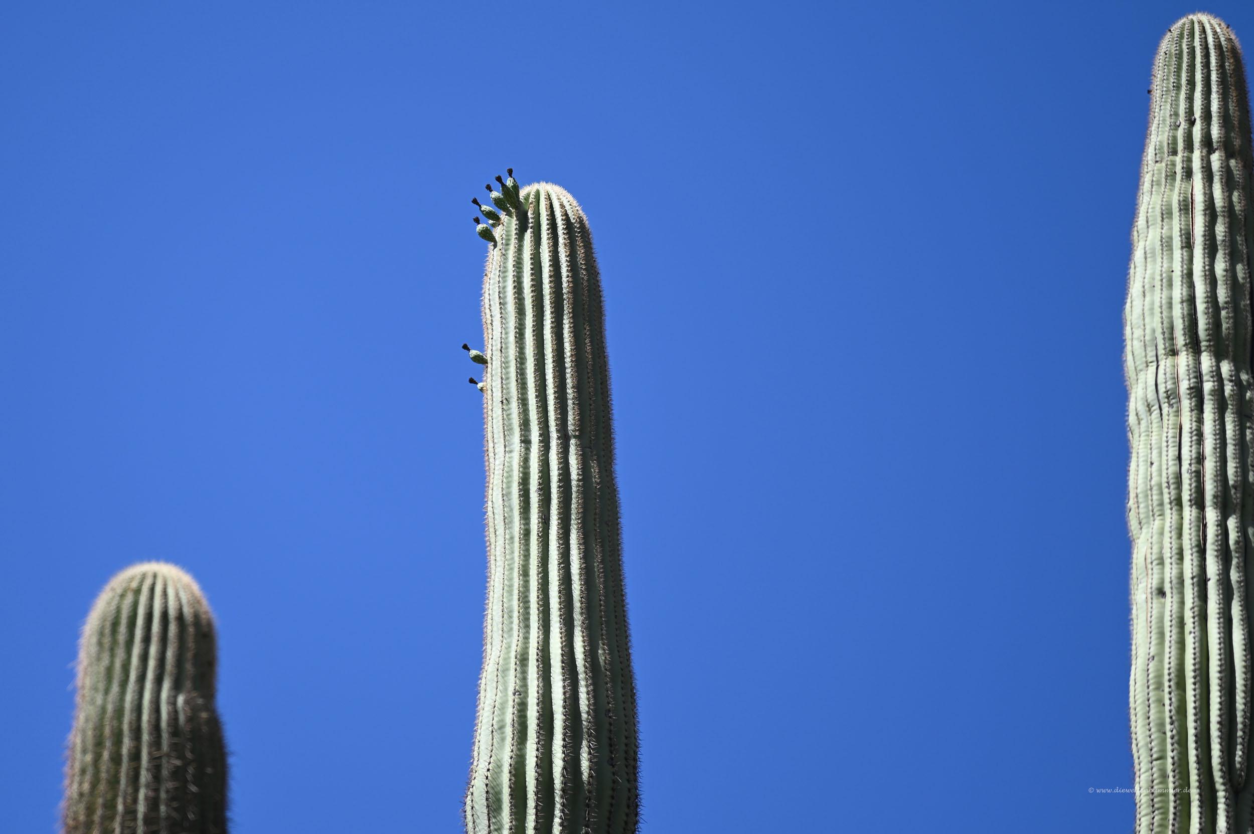 Neue Triebe am Kaktus