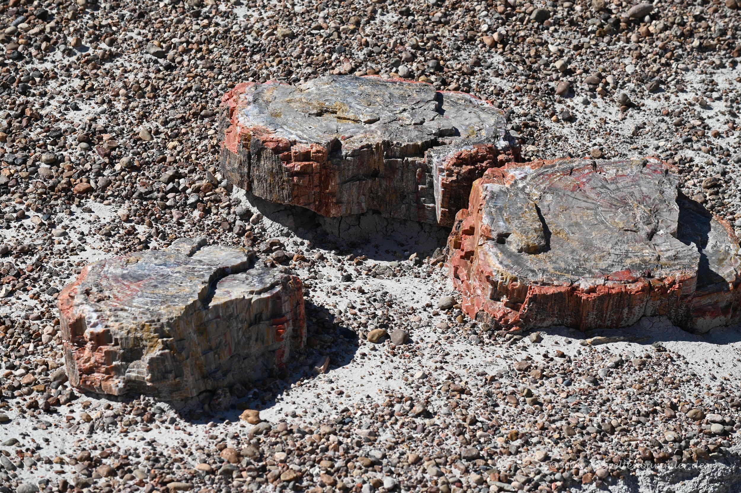 Versteinerte Baumscheiben