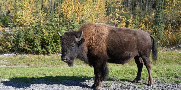 Einer von vielen Bisons