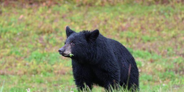 Einer von vielen Schwarzbären