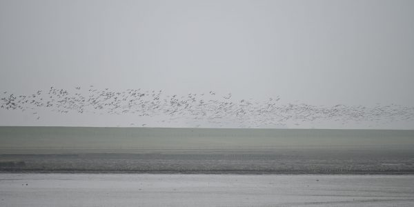 Vogelschwarm über dem Dollart