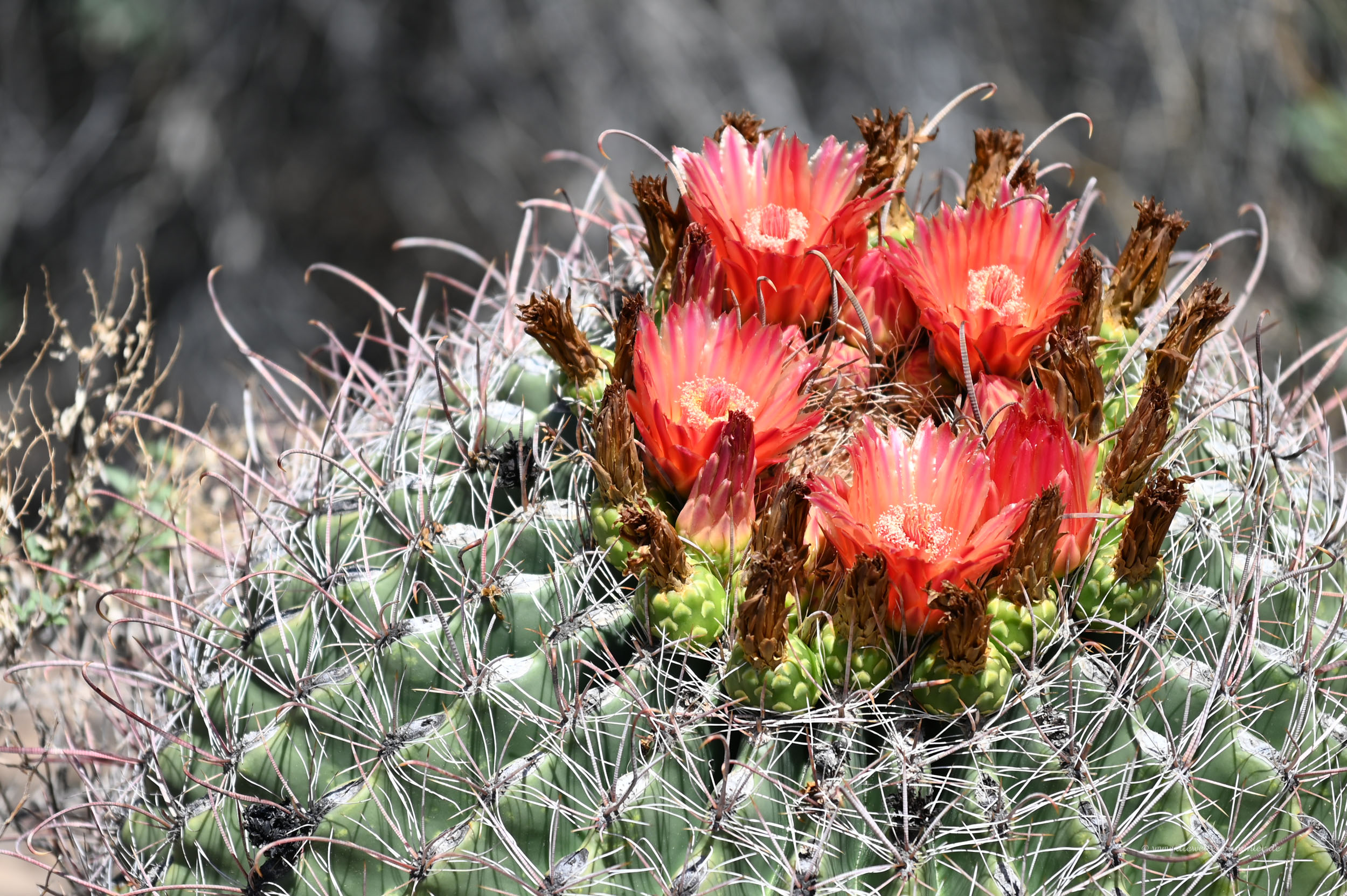 Blüten am Kaktus
