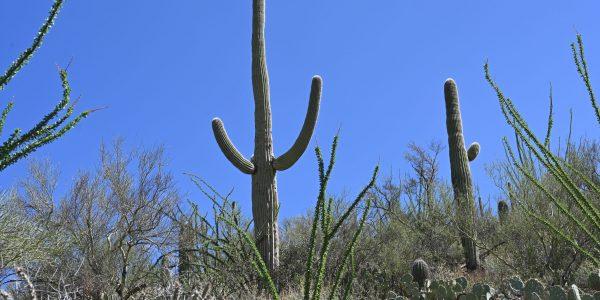 Klassischer Kaktus
