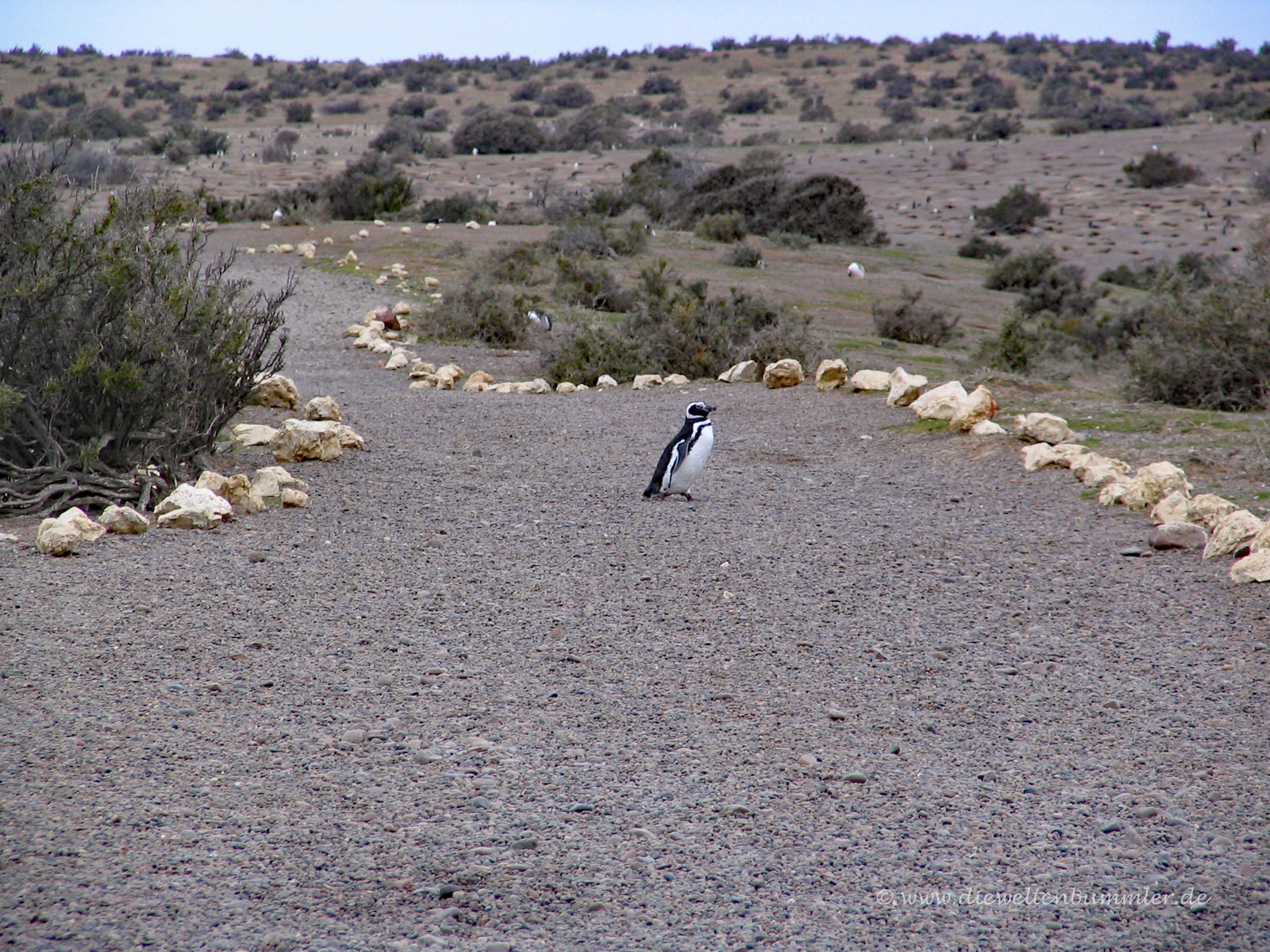 Pinguin auf dem Weg