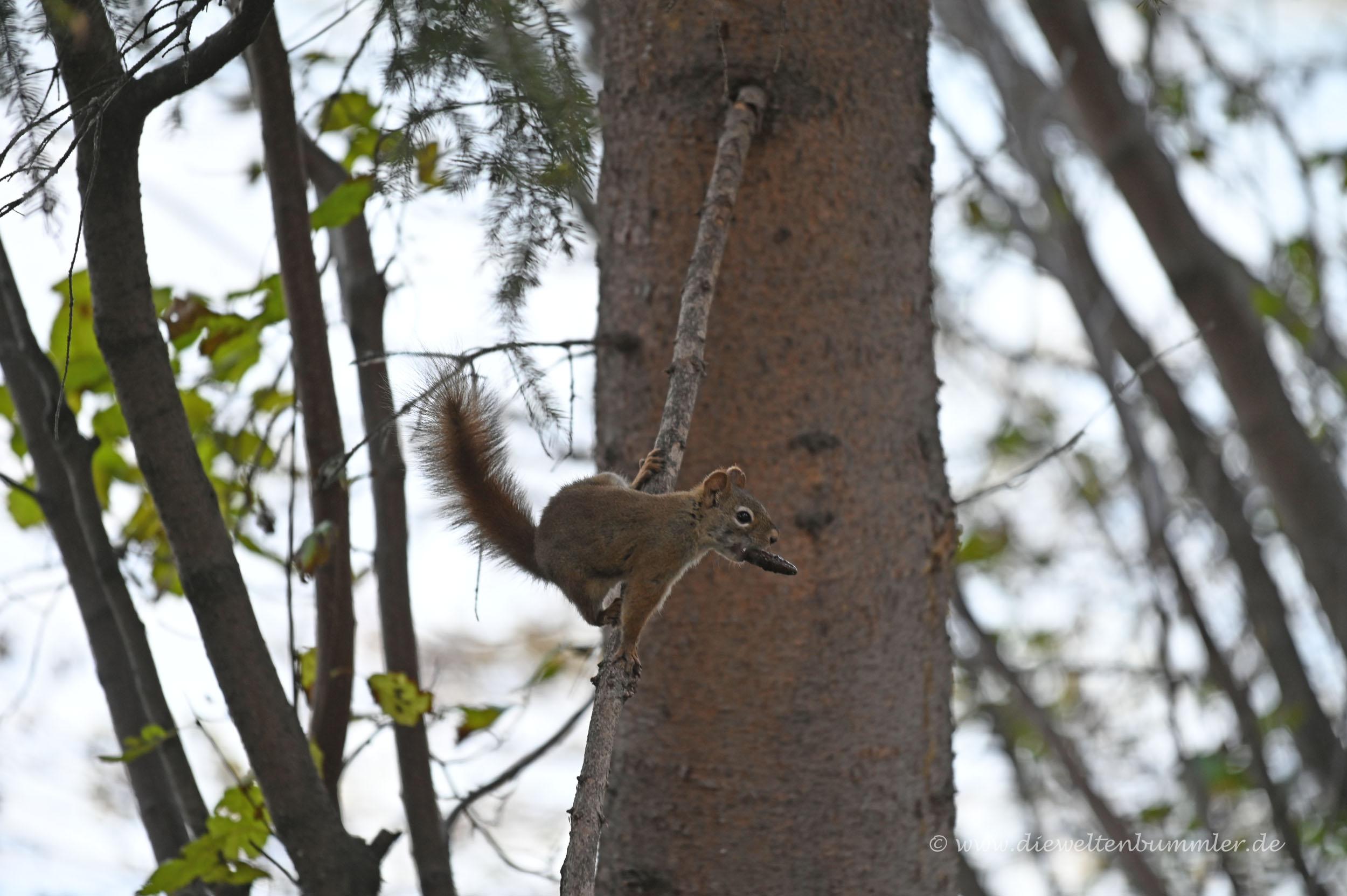 Squirrel mit Futter