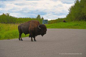 Bison auf der Straße