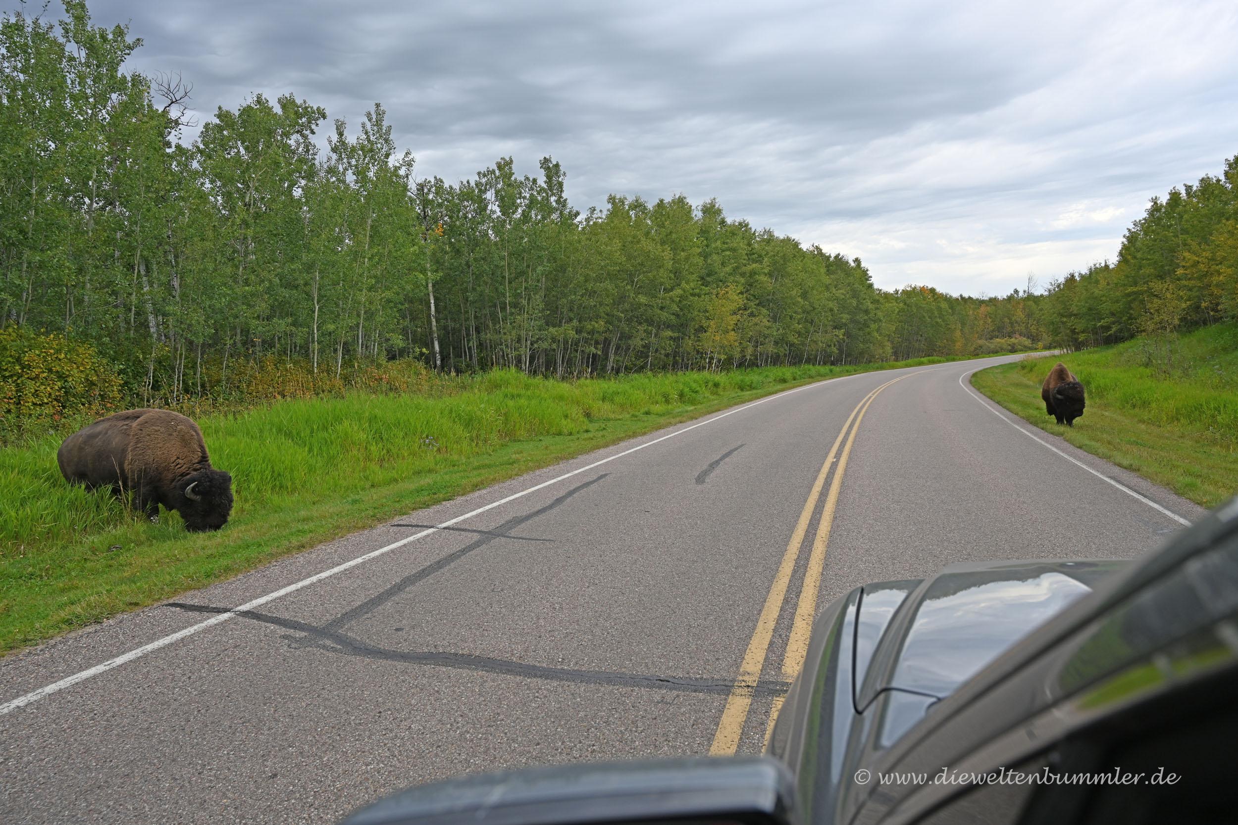 Bisons an der Straße
