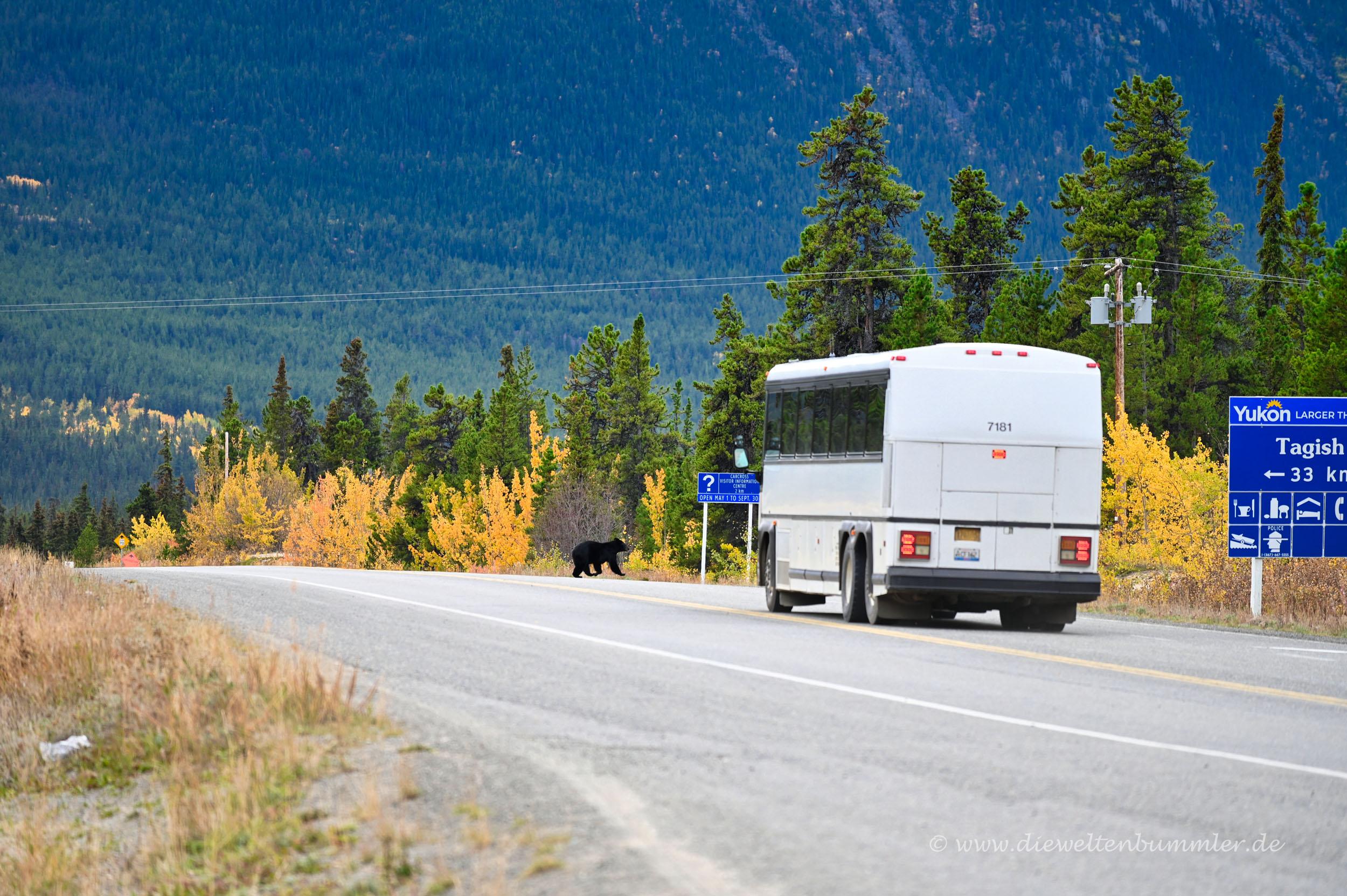 Da läuft der Bär über die Straße
