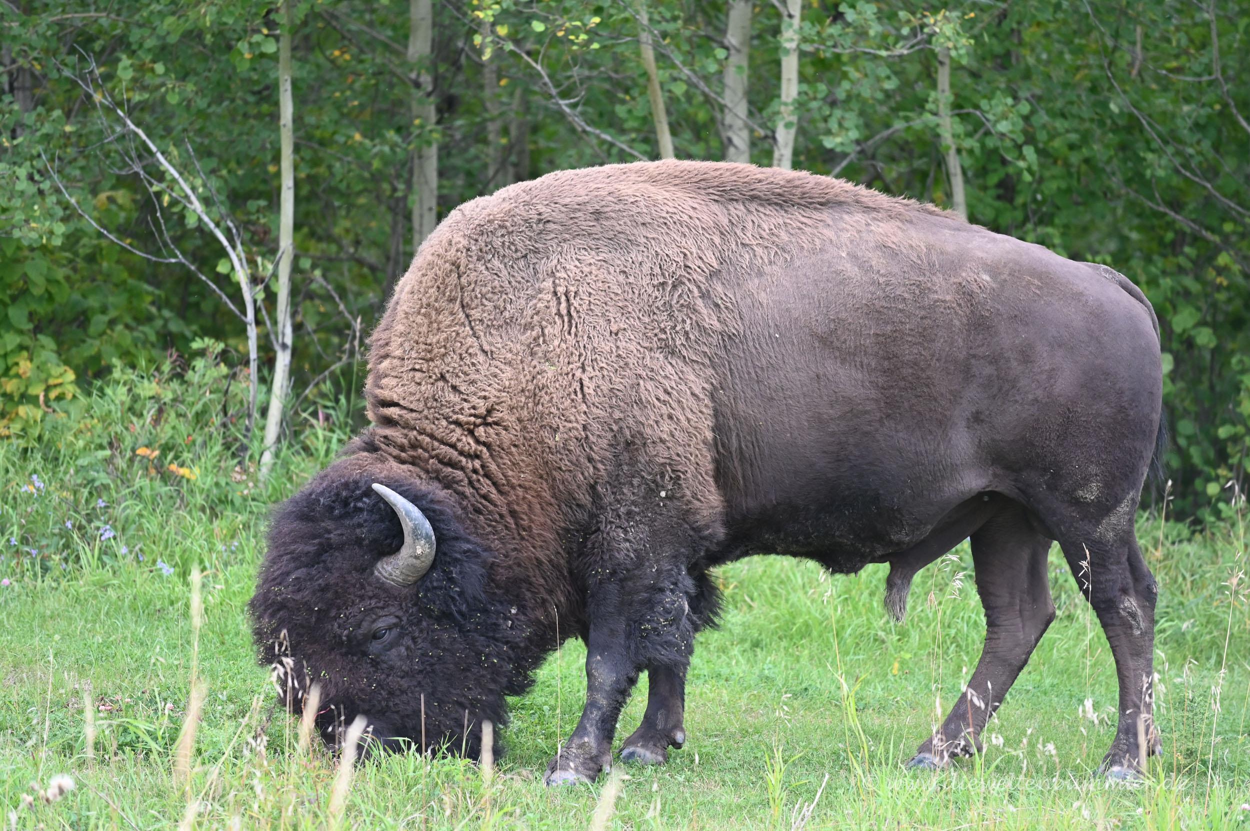 Grasender Bison