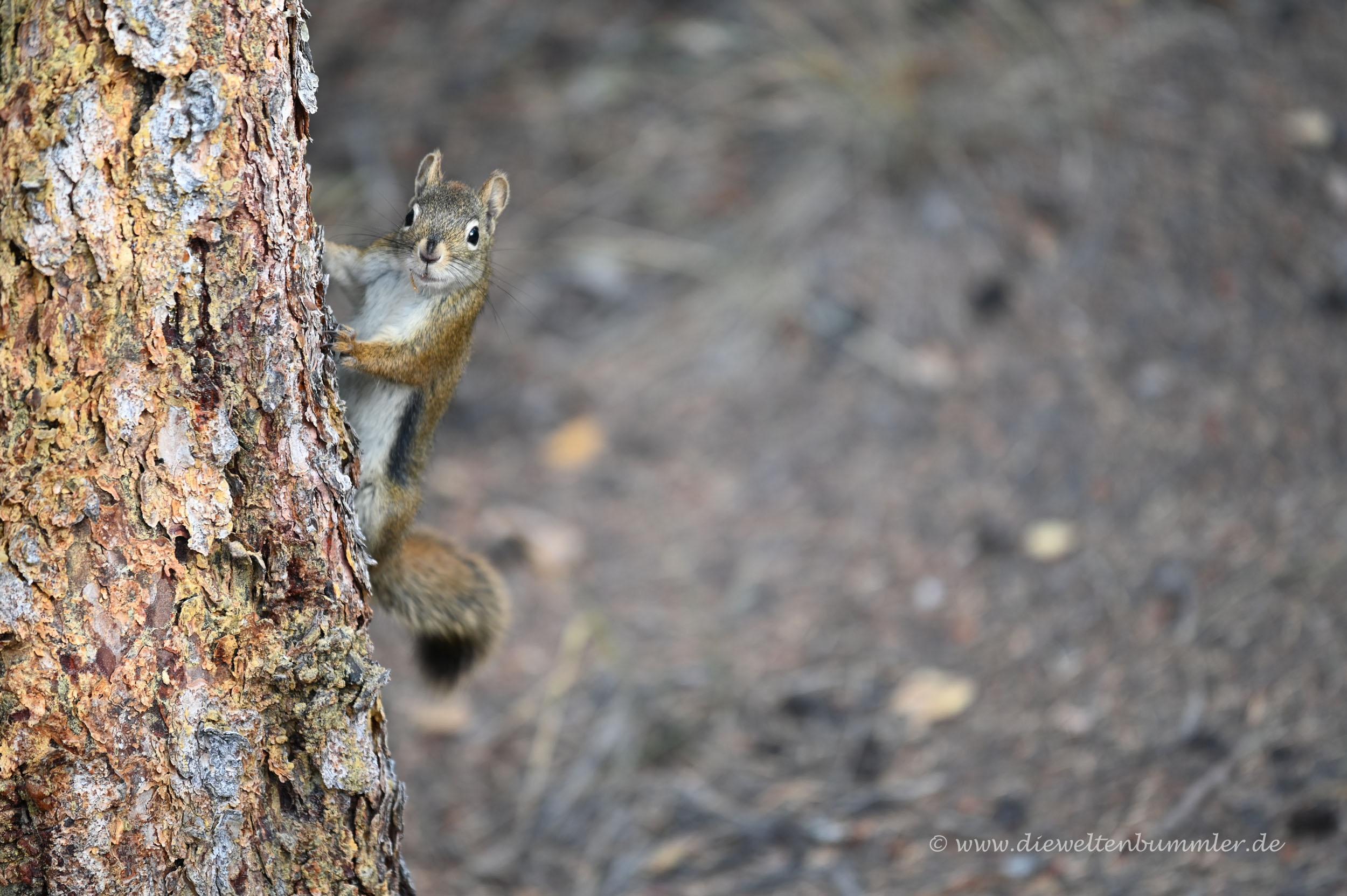 Ein Squirrel schaut um die Ecke