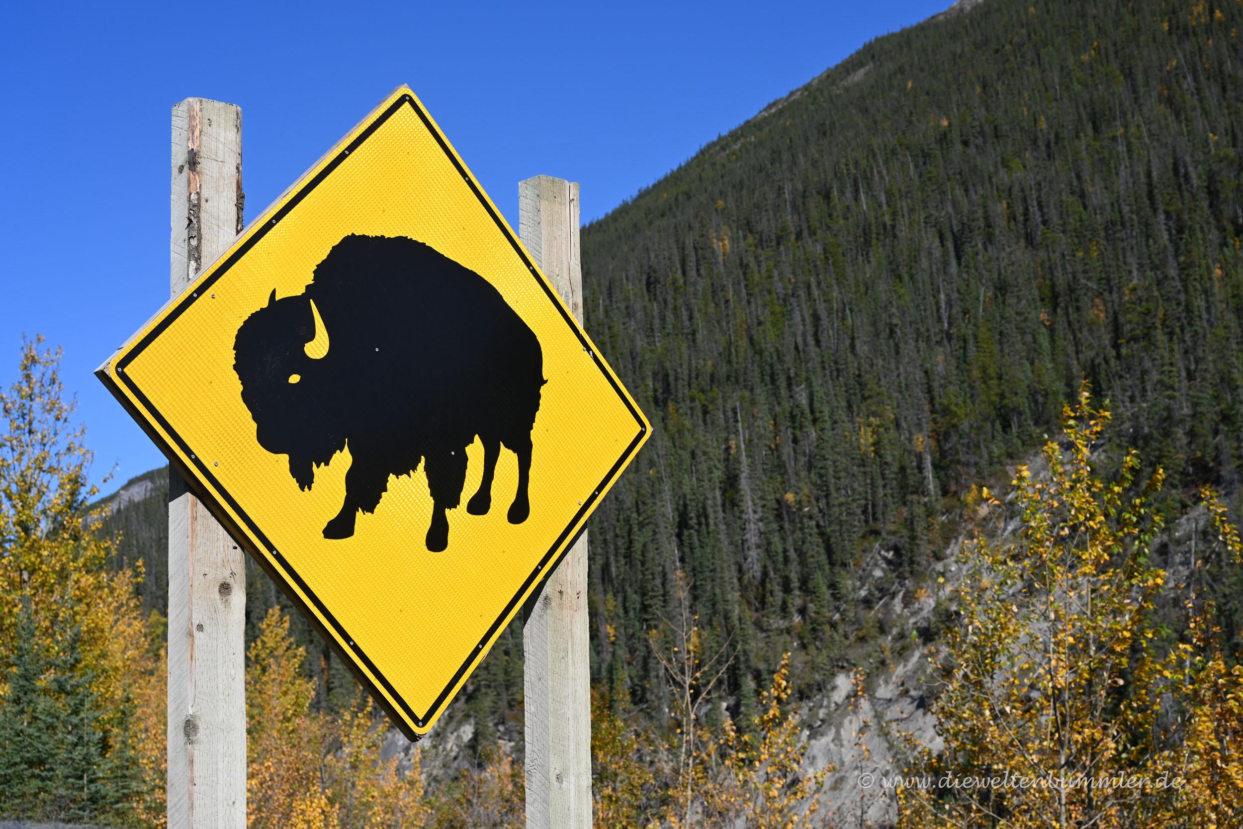 Achtung Bison am Alaska Highway