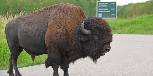 Bison im Elk Island Nationalpark