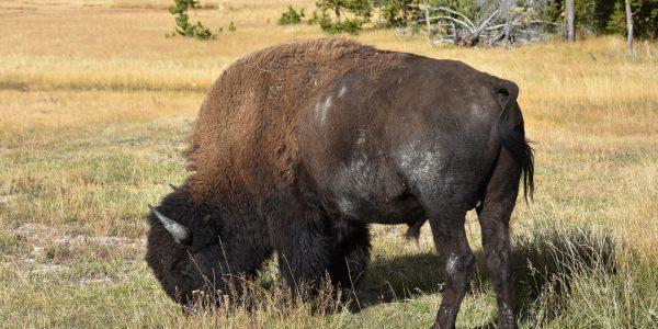 Bison im Yellowstone Nationalpark