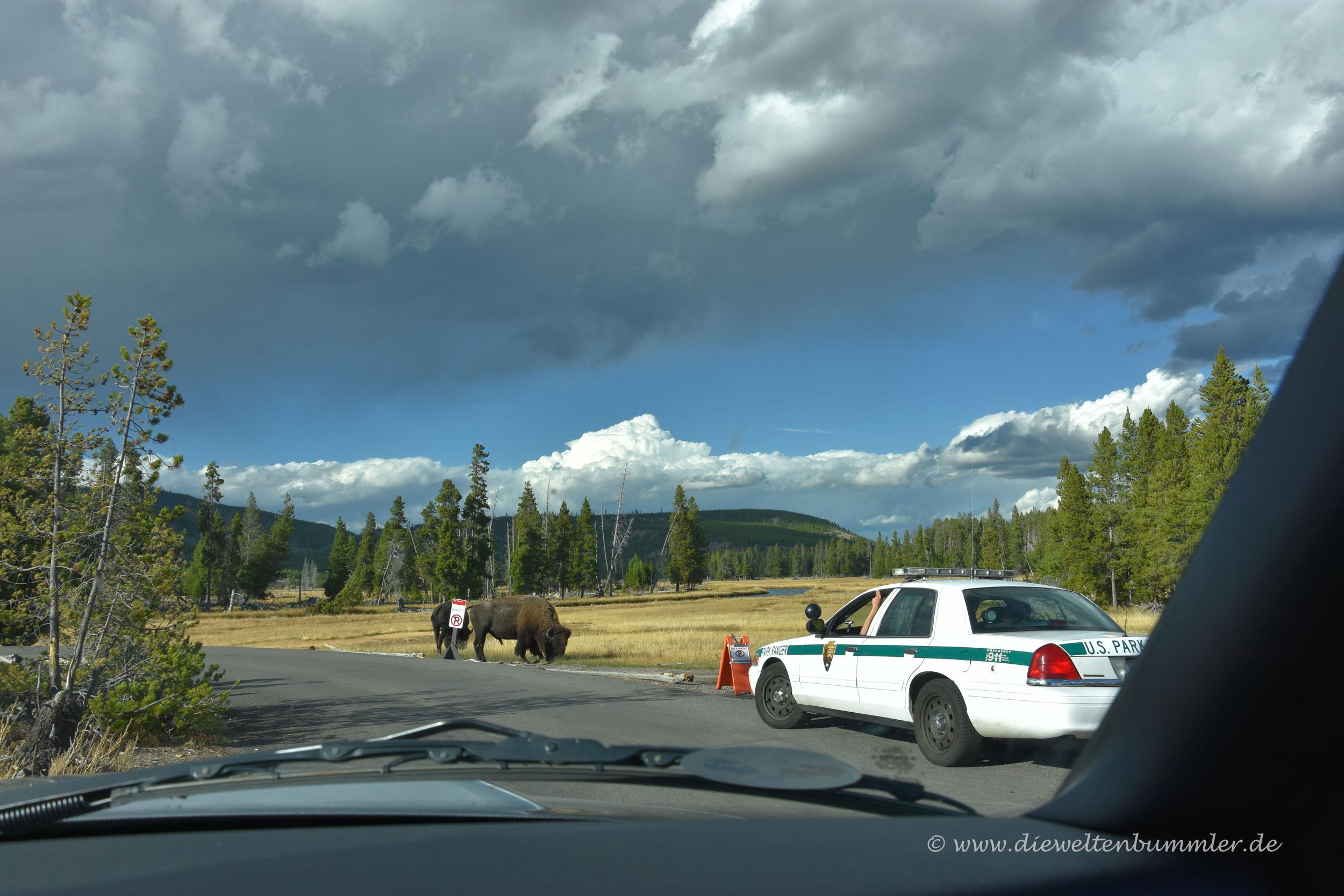 Bisons unter Aufsicht der Park Ranger