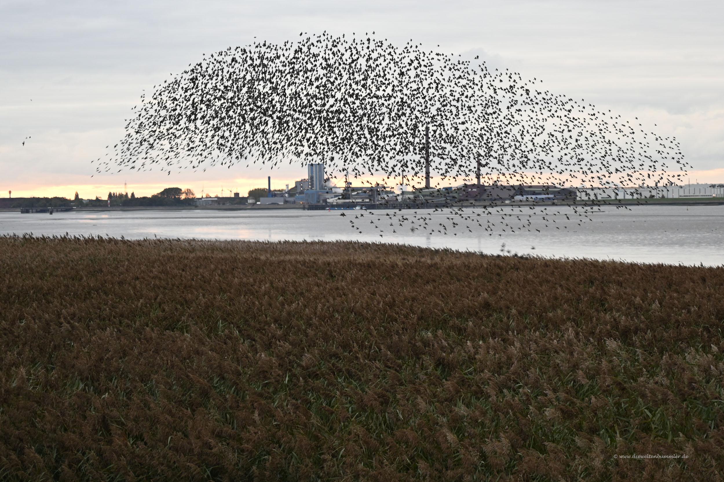 Vogelschwarm in Bremerhaven